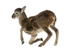 Jonge mouflon - Ovis-orientalisorientalis Royalty-vrije Stock Foto