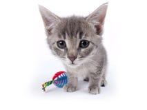 Jonge negen weken oud pluizig grijs gestreept katjes met een stuk speelgoed Royalty-vrije Stock Foto