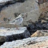 Jonge nestvogelkwikstaarten Royalty-vrije Stock Foto's