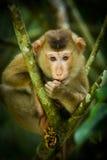 Jonge Noordelijke varken-De steel verwijderde van Macaque stock afbeelding