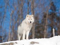 Jonge Noordpoolwolf in natuurlijk milieu Stock Afbeeldingen