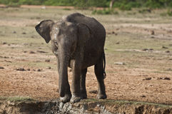 Jonge olifant stock foto's