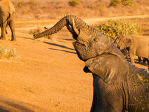 Jonge olifant glanzend en nat van het spelen in de boomstam van modderliften Royalty-vrije Stock Afbeelding