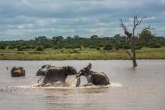 Jonge olifanten die in water, het Nationale Park van Kruger, Zuid-Afrika spelen stock afbeelding