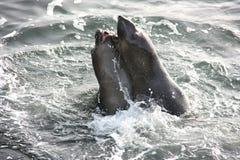 Jonge olifantsverbindingen die het binnen water spelen Stock Fotografie