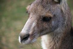 Jonge Oostelijke Grijze Kangoeroe Stock Fotografie