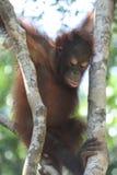 Jonge Orangoetan Stock Afbeelding