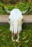 Jonge osschedel Stock Foto