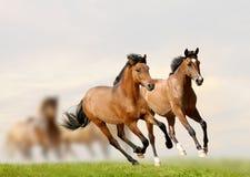 Jonge paarden Royalty-vrije Stock Afbeelding