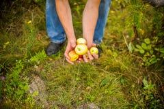 Jonge paaroogsten van appelen stock foto