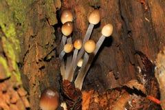 Jonge paddestoelen (Mycena viscosa Maire) Royalty-vrije Stock Afbeeldingen