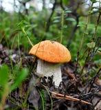 Jonge paddestoelglb boleet (lat Leccinum) onder de bladeren van vorig jaar en struikamerikaanse veenbessen stock afbeelding