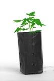 Jonge papajainstallatie in plastiek die zak planten Royalty-vrije Stock Afbeeldingen