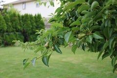 Jonge peren in een boom van het binnenplaatsfruit stock foto's