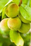 Jonge perzik op een boomtak Stock Foto's