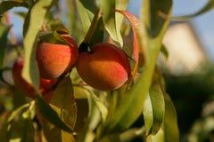 Jonge perziken die op een boom groeien stock afbeeldingen