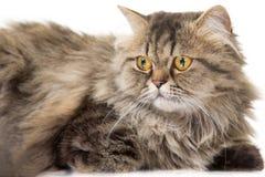 Jonge Perzische kat die op wit liggen Royalty-vrije Stock Afbeelding