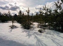 Jonge pijnbomen in de april-sneeuw royalty-vrije stock foto's