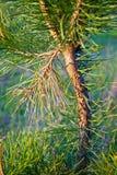 Jonge pijnboom Stock Afbeelding