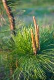 Jonge pijnboom Stock Fotografie