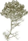Jonge Pijnboom Stock Afbeeldingen