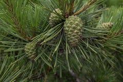 Jonge pijnboom en kleine groene denneappels Stock Afbeeldingen