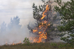 Jonge pijnboom in vlammen van brand Stock Afbeelding