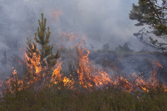 Jonge pijnboom in vlammen van brand Stock Foto's