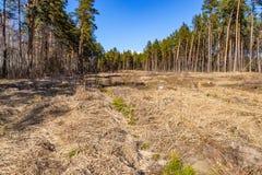 Jonge pijnboomjonge boompjes in de grond, bij de plaats van ontbossing stock afbeeldingen