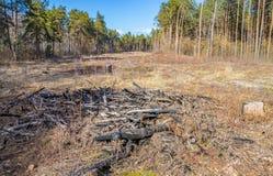 Jonge pijnboomjonge boompjes in de grond, bij de plaats van ontbossing royalty-vrije stock fotografie