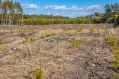 Jonge pijnboomjonge boompjes in de grond, bij de plaats van ontbossing stock fotografie