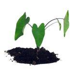 Jonge plant, Caladium Stock Afbeeldingen