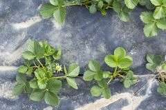Jonge plantaardbei stock foto's