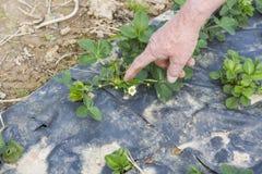 Jonge plantaardbei stock foto