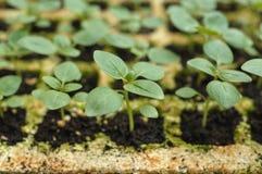 Jonge plantspruit Stock Foto's