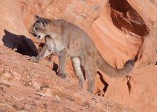 Jonge poema die zich op een hellende richel van rood zandsteen in Zuidelijk Utah bevinden stock foto's