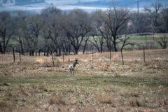 Jonge Pronghorn-Antilope Stock Afbeeldingen