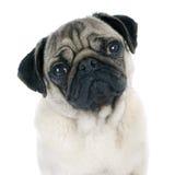 Jonge pug stock fotografie