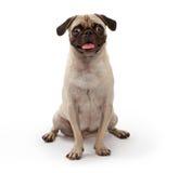 Jonge Pug Hond die op Wit wordt geïsoleerdr Stock Afbeelding