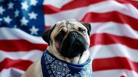 Jonge pug met Amerikaanse vlag stock video