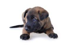 Jonge puppy Royalty-vrije Stock Afbeeldingen