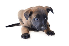 Jonge puppy Royalty-vrije Stock Foto