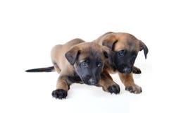 Jonge puppy Royalty-vrije Stock Fotografie