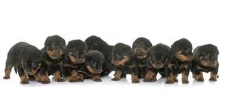 Jonge puppy rottweiler Royalty-vrije Stock Afbeelding