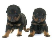 Jonge puppy rottweiler stock foto's