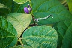 Jonge purpere slabonen die onder weelderige bladeren groeien royalty-vrije stock foto's