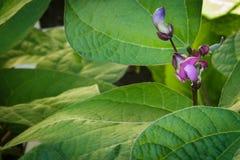 Jonge purpere slaboonbloemen en spruiten die boven weelderig l groeien royalty-vrije stock afbeeldingen
