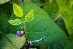 Jonge purpere slaboonspruiten die boven weelderige groene bladeren groeien royalty-vrije stock afbeelding