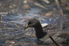 Jonge Purpere Swamphen (van Australasian) Stock Afbeeldingen