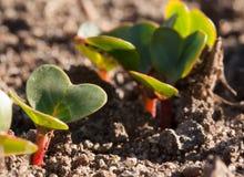 Jonge radijzen die in de tuin in de vroege lente groeien Stock Foto